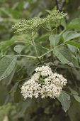 Sambucus nigra (elderflower) in bloom