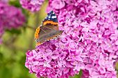 lilac and butterfly