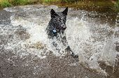 Black Dog In Water Splashing Around