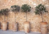 Row Of Olive Trees