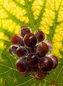 Water Grapes