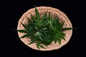 pic of cannabis  - Cannabis Leaf Bowl On a Black Background - JPG