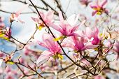 stock photo of japanese magnolia  - Beautiful Japanese Magnolia blossoms against a beautiful sky - JPG