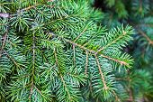 Evergreen Coniferous Branches