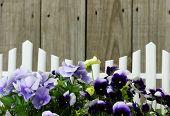 Purple flowers (pansies) border white picket fence