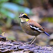 Beautiful Female Of Banded Pitta Bird (pitta Guajana)