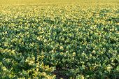 stock photo of biodiesel  - Fields are flowering in the summer for biodiesel production
