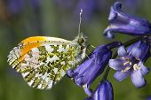 Male Orange Tip Butterfly (anthocharis Cardamines) On A Bluebell