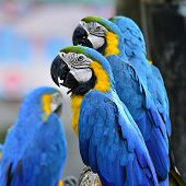 Portrait Of Blue And Yellow Macaw, Blue And Golden Macaw Line Up With Others Macaws In Background