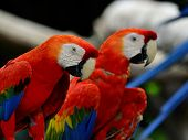 Scarlet Macaw Or Red Macaw Sitting Together On Black Background With Lovely Eyes