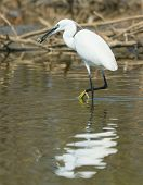A White Western Reef Heron (egretta Gularis) Looking For Privacy To Eat Its Fish