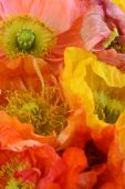 image of poppy flower  - ICELAND POPPIES RED YELLOW AND ORANGE WITH FRAGILE PETALS AND STAMENS FOR BACKGROUND - JPG