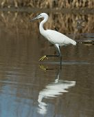 A White Western Reef Heron With Foot Raised Reflected In Shallow Water