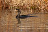 Neotropic Cormorant Swimming