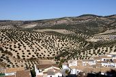 Olive groves, Montefrio, Spain.