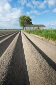 Newly Seeded Potatoes  In Ridges Of Clay Ground