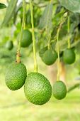 pic of avocado tree  - avocados growing on a tree, Avocados  tree