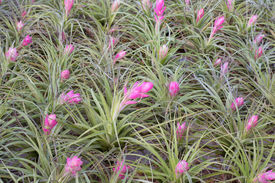 picture of tillandsia  - Bromeliad (tillandsia) blooming in garden, pink flower