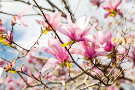 picture of japanese magnolia  - Beautiful Japanese Magnolia blossoms against a beautiful sky - JPG