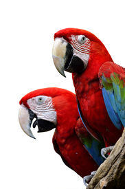 picture of green-winged macaw  - Red Macaw Green - JPG