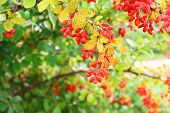 Close up of the berries of barberry