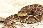 image of venom  - Bothrops asper a venomous pit viper also called Ferdelance laying on sandy ground ready to strike - JPG