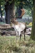 Mature Fallow Deer Buck In Forest On Autumn Fall Morning Landscape