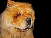picture of chow-chow  - Chow - JPG