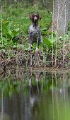 hunting dog - german shorthaired pointer sitting at the water's edge