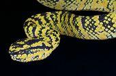 Temple viper / Tropidolaemus wagleri