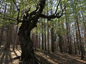 The Witch - Old Humpbacked Beech Tree In The Middle Of Pine Forest