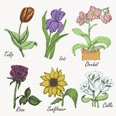 Set Of Colored Flowers - Tulip, Iris, Orchid, Rose, Sunflower And Calla. Hand Drawing. Vector Illust