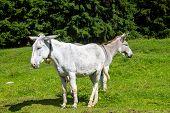 Double Donkey