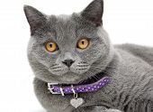 Portrait Of A Cat In A Purple Collar On A White Background