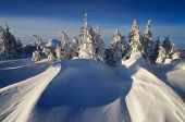 Snow covered trees. Winter in the mountain forest sunny day. Christmas landscape with snow drifts