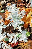 Senecio Cineraria Plant And Leaf Litter