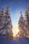 Fir trees under the snow. Mountain forest in winter. Christmas landscape. Carpathians, Ukraine, Europe