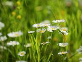 daisies on a meadow - shot with shallow depth of field
