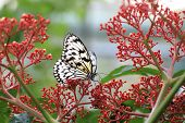 image of butterfly  - Large Tree Nymphs butterfly and flowers - JPG