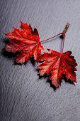 autumn maple leaves-autumn composition