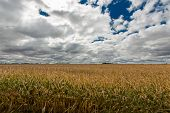 image of staples  - Ripe golden field of Zea mays or corn ready to be harvested as a staple cereal grain foodstuff or as silage for winter feed for livestock under a dramatic cloudy sky - JPG