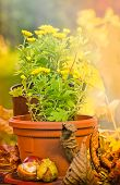 picture of feverfew  - Yellow flowers in pot flowers and autumn leaves  - JPG