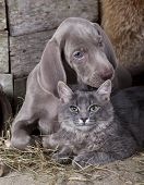 image of coon dog  - puppy and kitten  - JPG