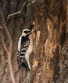 picture of woodpecker  - Female Downy Woodpecker looking for insects on a tree trunk in winter - JPG