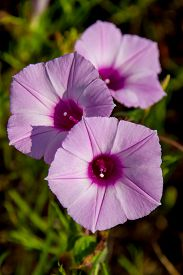 picture of ipomoea  - Sharp Bulb Morning Glory (Ipomoea trichocaro), Purple Wildflowers Growing Wild in Texas. ** Note: Soft Focus at 100%, best at smaller sizes - JPG