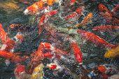 foto of fish pond  - Carp fish eating food in a pond - JPG