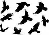 foto of omnivores  - Set of silhouette flying raven bird with no leg - JPG