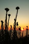 picture of vegetation  - Silhouettes of wild vegetation at the sunset light - JPG