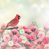 picture of cardinals  - Red Cardinal Bird Perches In Rose Garden - JPG
