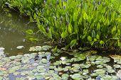 foto of weed  - Violet blue Pontederia plant growing in the pond - JPG